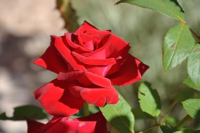 Proprietà cosmetiche della rosa