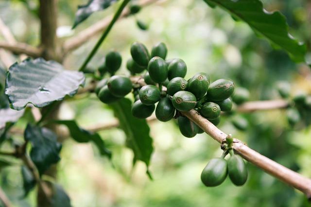 Olio di caffè verde