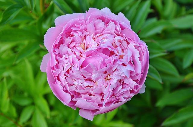 polvere di rosa damascena