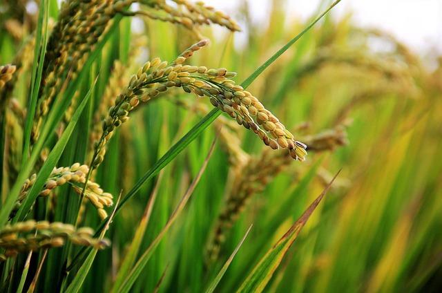 Cera di riso